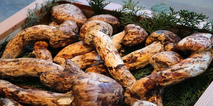 Matsutake Mushroom Festival